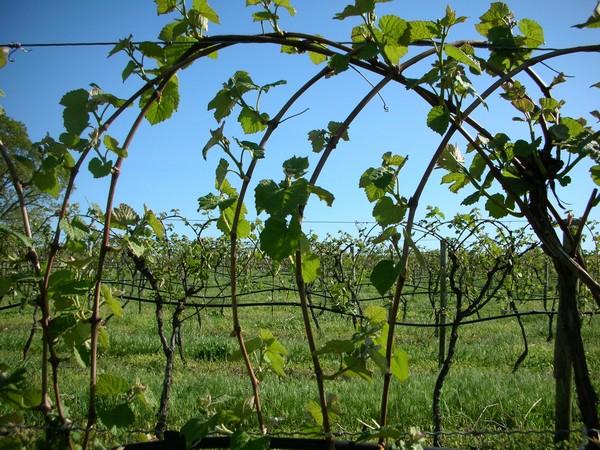 как сделать опору для винограда фото