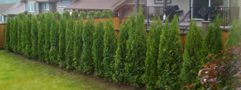 Живая изгородь на даче своими руками: зеленая защита дома