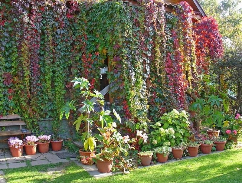 вертикальное озеленение дачных домов фото