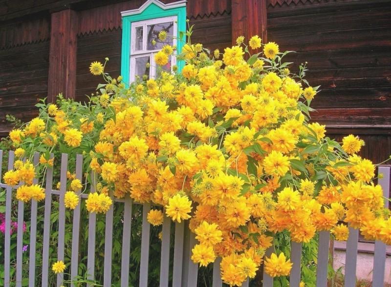 какие цветы посадить вдоль забора