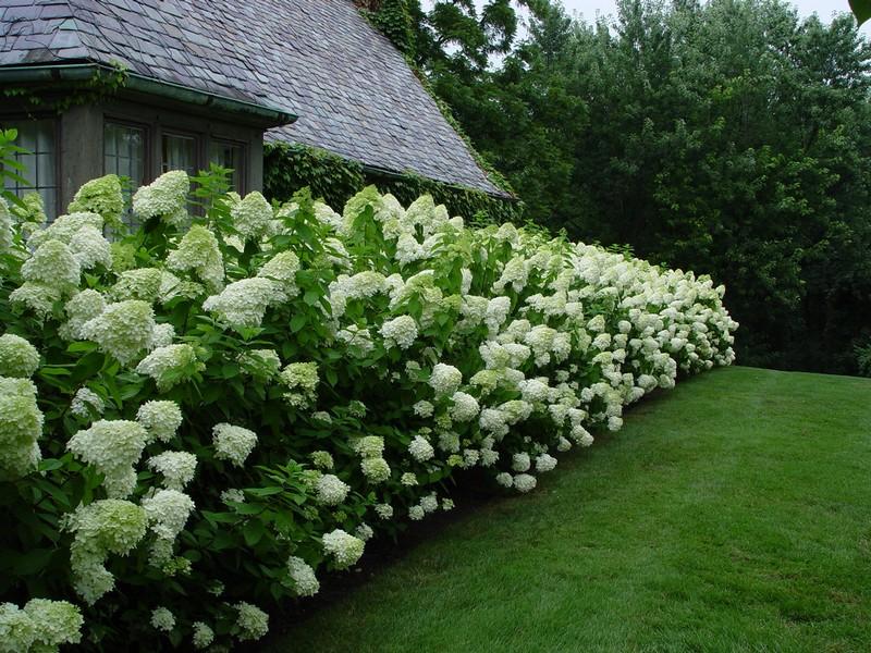 какие кусты посадить для живой изгороди