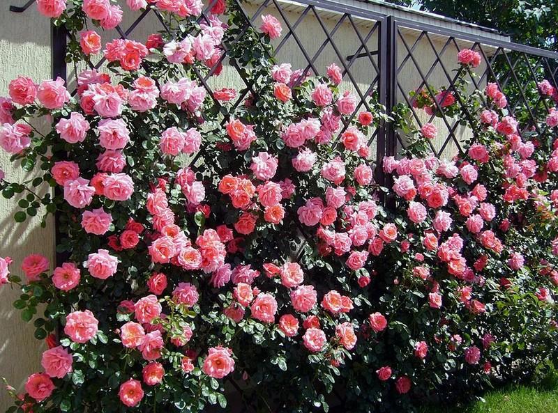 плетистая роза на заборе фото