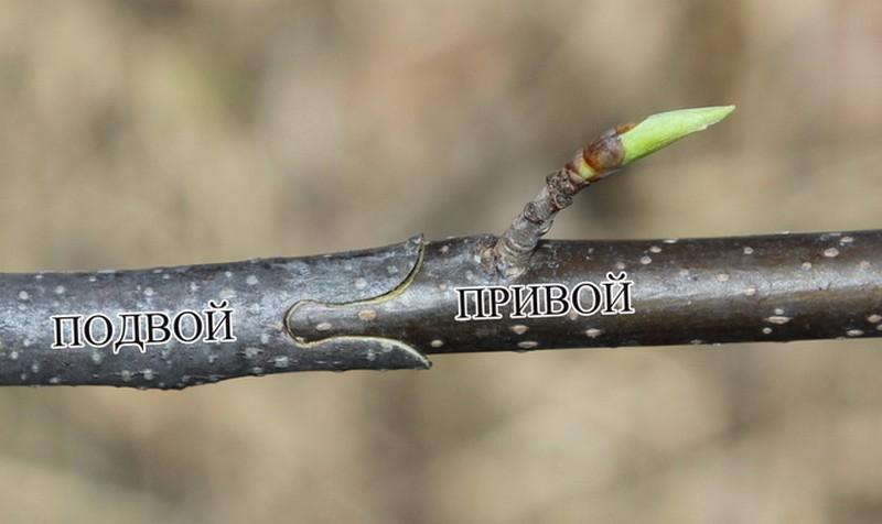 секаторы для прививок плодовых деревьев фото