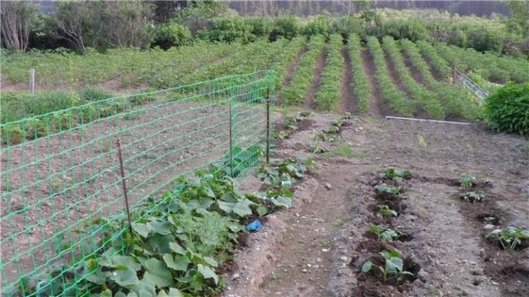 Использование сетки в выращивании огурцов 37